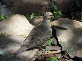 Mourning Dove by GoWaterTribe