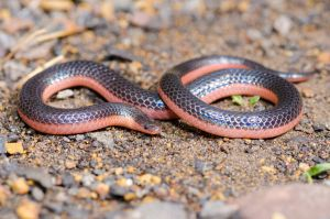 Carphophis by michael-ray