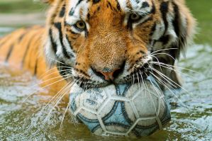 le tiger playing with a ball by troldemort