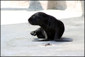 Baby sea lion by AF--Photography