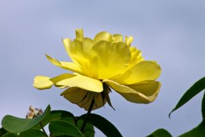 Yellow Rose by sztewe
