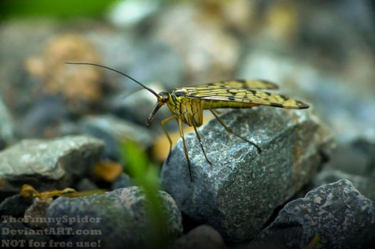 Female Scorpionfly - Panorpa germanica - May 2017 by TheFunnySpider