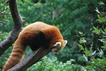 red panda 1.17 by meihua-stock