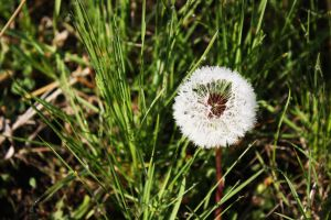 Dandelion by highlyimprobable