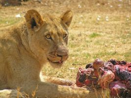 Lioness Eating by Jenvanw