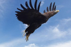 White-Tailed Sea Eagle Fly By by 0Iluvater0