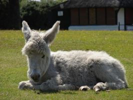 DSC00611 Young Donkey at Bolton's Bench, Lyndhurst by VIRGOLINEDANCER1