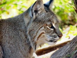 Bobcat by amorphousdebris