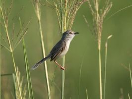 Perched In The Elephant Grass by InayatShah