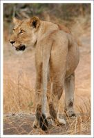 Lioness - 2633 by eight-eight