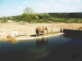 Poznan Zoo: Elephant by varulf
