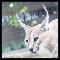 Caracal 11 by Globaludodesign