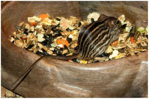 Striped Grass Mouse by In-the-picture