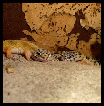 Geckos3 by Elephtheruid