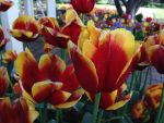 Tulip Time 2014 Pic 30 by rjrgmc28