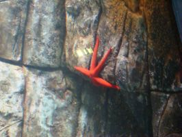 Red Starfish by Alcyone07
