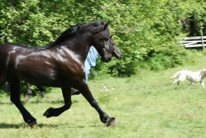 Big friesian trot by OnlyYouCan
