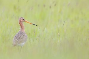 Black-tailed Godwit by phalalcrocorax
