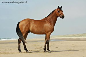 Bay horse at the beache by lifaya