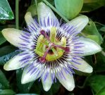 Passion Fruit Flower by fuguestock