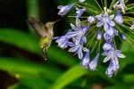 Hummingbird and blue flowers 3 by arthero12