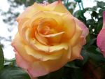 Peach Rose by Star-Light-Stable