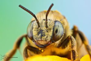 Eucerini - Long-horned bee by ColinHuttonPhoto