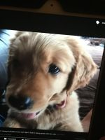 My aunties' cute Golden Retriever Puppy by CJFairfield16