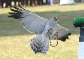 Pale Chanting Goshawk Stock 5 by LRG-Photography
