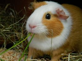New Guinea Pig! - Alice by Saffie-Chan