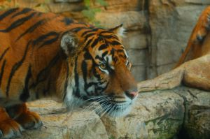 Tiger by CGrommeshPhotography