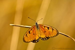 Orange ButterFly by saka50ft