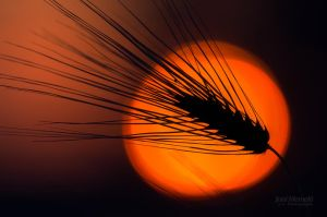 Silhouette Of A Barley by Nitrok