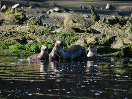 Wild River Otter Family by doglover43