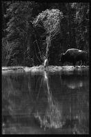 Bison III - bw by wroth