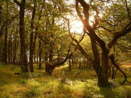 Oaks of Galloway by scotto