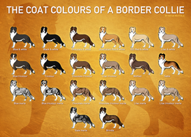Border collie coat colours by norochan