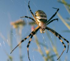 wasp spider by kingdaughter