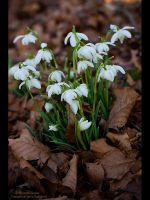 First Snow Drops of 2008 by GMCPhotographics