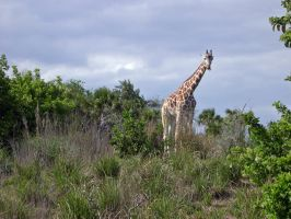 Giraffe on Safari by AreteEirene