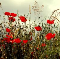 Corn poppies by Schneeengel