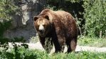 Grizzly Bear IV by Track-Maidens