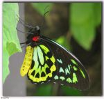 Ornithoptera Euphorion by Sgnappy
