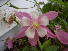 Pink Columbine in Kentucky by TheSortedBead