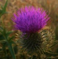 Thistle Head III by Midnyt-Moonlight