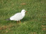 Gull in the grass by mossagateturtle