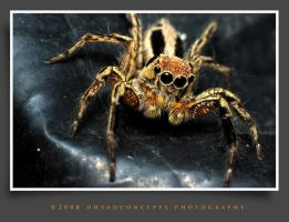 jumping spider 10 by dhead