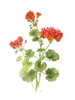 Pelargonium  zonale by gudzolga