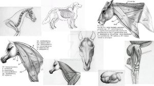 Veterinary Anatomy Compilation by picous