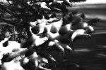 Snow on Evergreen Branch by rdungan1918